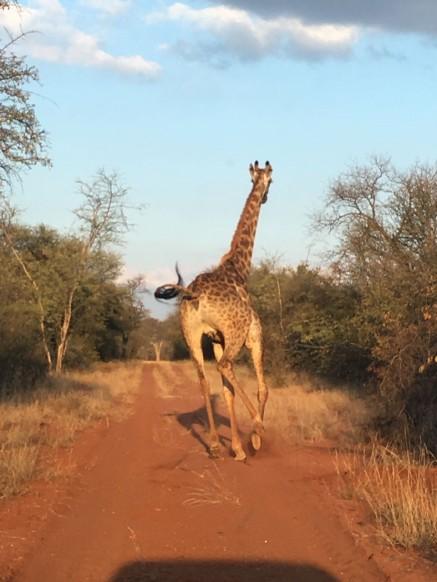 giraffe startled